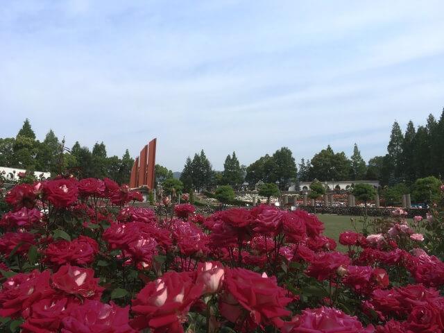 伊丹市の薔薇園